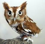 Eastern+ScreechOwl+eastern+screech+owl